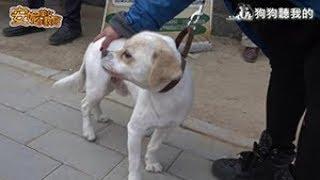 安妮美女教官(網路版) - 第九集(全) 搜救犬+家犬訓練 (Rescue Dog/House Pet Training camp)