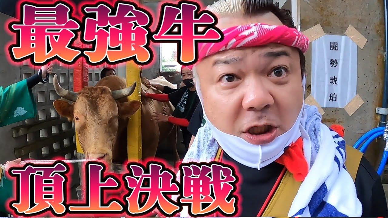 【沖縄闘牛】地上最強の牛たちの闘い前の牛舎に初潜入してみた!