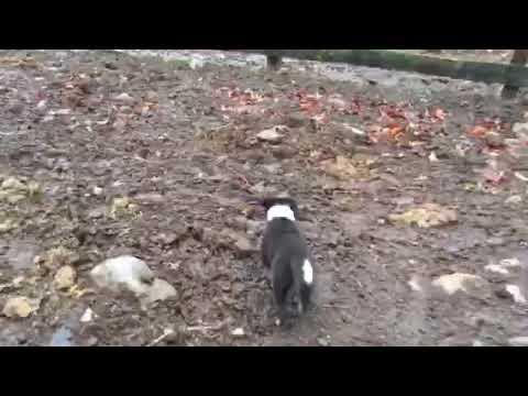 Border Collie Puppy Instinct
