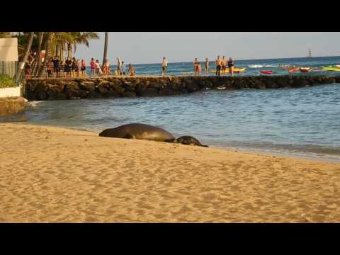 Baby Hawaiian Monk Seal 07122017