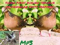 Suara Pikat Burung Tekukur  Pasti Ampuh  Mp3 - Mp4 Download