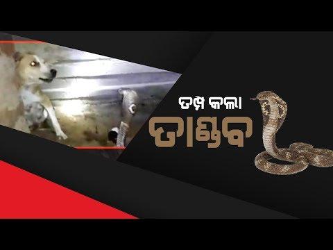 Exclusive Video: Fight Between Cobra & Dog In Chandbali