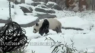 Panda caught playing in snow at Toronto Zoo