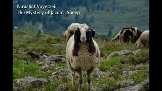 Jerusalem Lights Parashat Vaytzei 5781: The Mystery of Jacob's Sheep