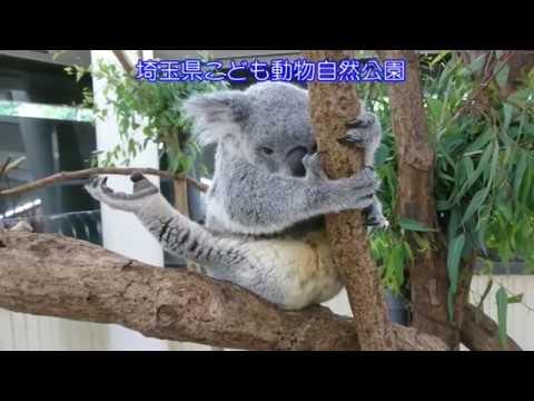 国内初!コアラの赤ちゃん、誕生の瞬間をスクープ!2018.06.29(埼玉県こども動物自然公園 公式/SaitamaChildrensZoo official )