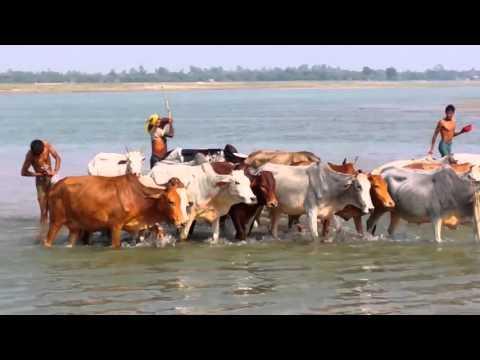 ভারত থেকে গরুর পাচার