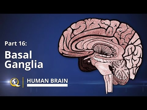Basal Ganglia - Human Brain Series - Part 16
