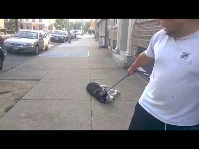 Siberian Husky won't go home ( Hatchi )