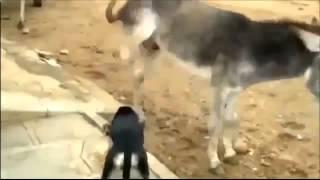 Забавные животные. Месть Осла! Смешное видео с животными.
