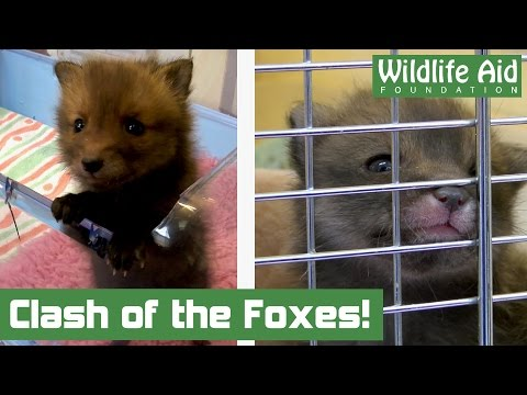 Orphan fox introduction doesn't go to plan...