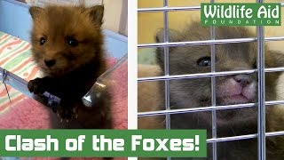 Orphan fox introduction doesn