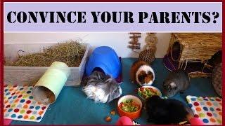 MOST ASKED QUESTIONS!  Convincing Your Parents to Get Guinea Pigs? | Squeak Dreams