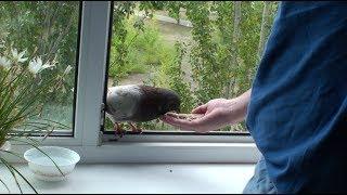 Городской голубь ест с руки на окне. Как приручить.