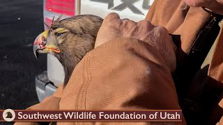 Eagle Survived Collision with Car