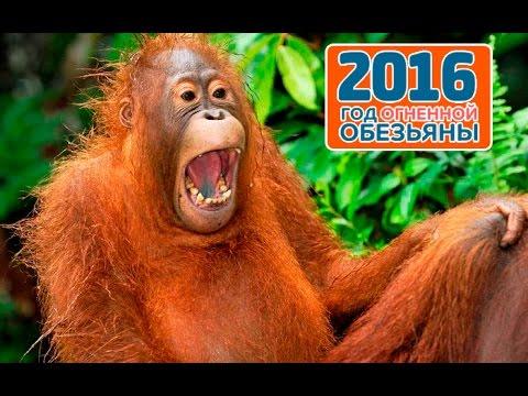 2016 год огненной обезьяны. Что он нам несет? Узнай!