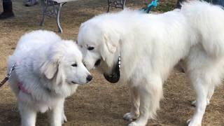 超大型犬の会「BIG BURN 100」の関東地区オフ会の様子です。ネットでこ...