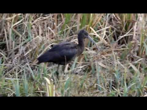 Glossy Ibis At RSPB Radipole Lake