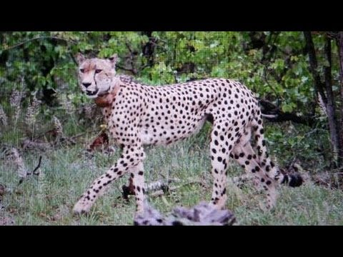 2 Cheetahs Crossing The Road - 3 March 2013 - Latest Sightings
