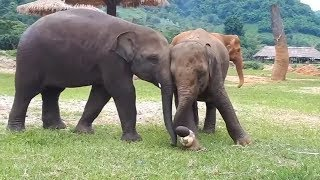 World Cup fever hits animals: Baby elephants play football in Thailand