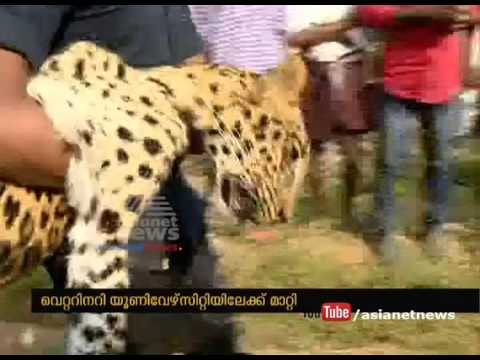 Forest Guard Catch Leopard From Wayanad  Chulliyode | FIR 7 Jan 2017