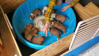 AKC Staffordshire Bull Terrier puppies 24 days old first time trying solid food