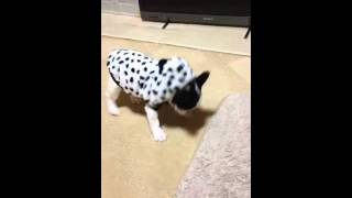 フレブルいわお、はじめての洋服。french Bulldog Iwao Wears Clothes For The First Time.