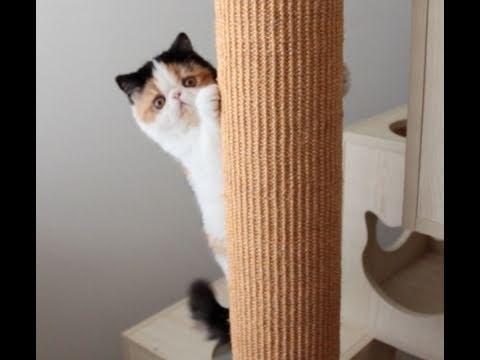 Thumbnail for Cat Video Hyper Kitten Climbs Tree