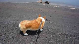 (hd) Goro@welsh Corgi 20090627 Mt.hoei In Mt.fuji