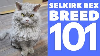 Selkirk Rex Cat 101 : Breed & Personality
