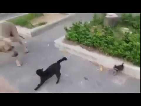How Cat Mom Save her Child, Amazing Video Cat Save Her Child From Dog , Cat Attack On Dog
