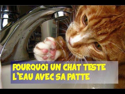 Pourquoi un chat 🐱 teste l'eau avec sa patte avant de boire ?