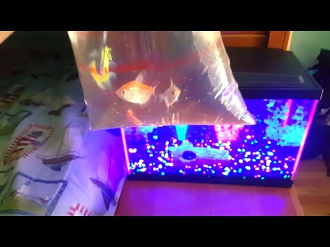 GETTING GLO-FISH FOR MY GLO-FISH TANK