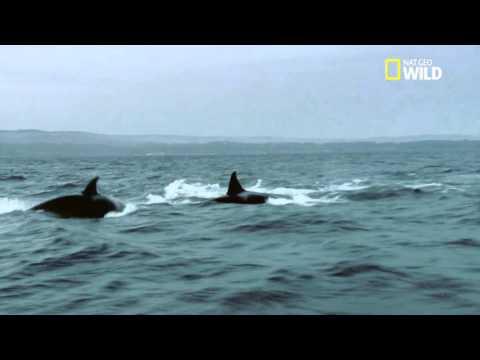 Une baleine prise en chasse par des orques