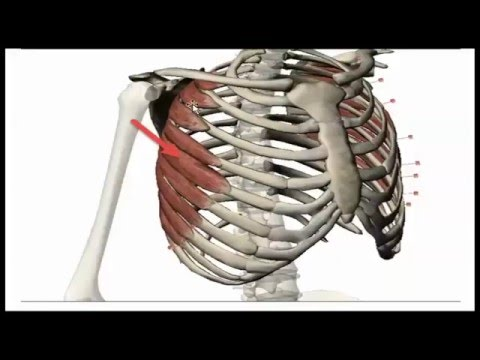 Muscles of the shoulder and the Axilla