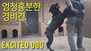 엄청 흥분한 대형견 케인코르소 [ feat. 소뿔, 더…