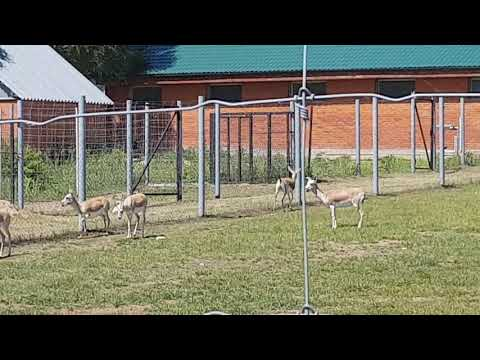 A herd of goitred gazelle