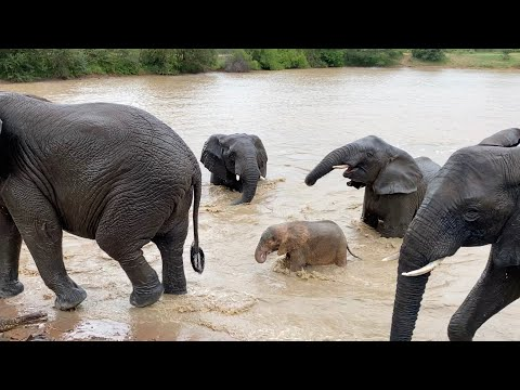 💦💦 Elephants 🐘🐘 swimming happily in the rain💦💦