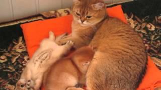 Золотые британские котята.