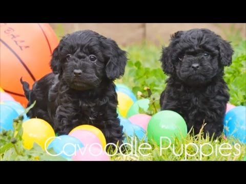 Cavoodle pups having fun