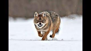 Опасная охота на волка зимой! Как не быть съеденным !Способы и секреты охоты на волка!