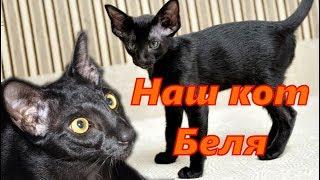 Наш любимый питомец. Кот Беля. Порода Ориентал. Our favorite pet. Cat Belya. Breed Oriental.