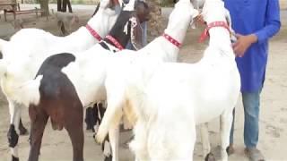 Animal Family Goat Farming Bakra Mandi Pakistan