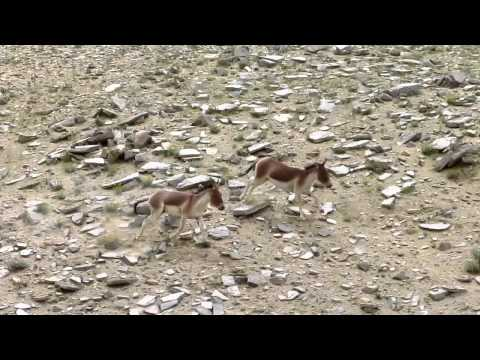 Two wild asses (Equus kiang) playing