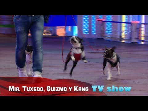 3 Boston Terrier featured in TV show