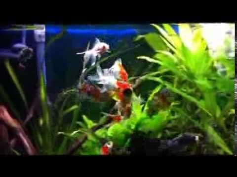Sera Spirulina Tabs in aquarium (Bristol Shubunkin)