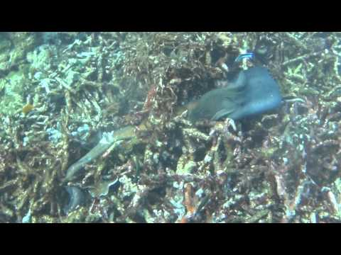 Moray eel attacked and eaten by moray eel