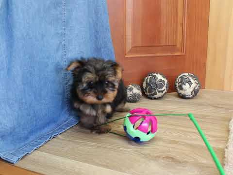 Tia Tiny Adorable Yorkshire Terrier Girl! - Yorkshire Terrier - Yorkie Puppy