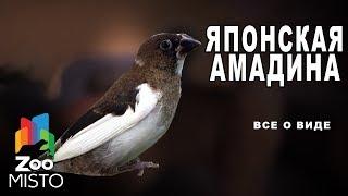 Японская амадина - Все о виде птицы |Вид птицы - Японская амадина