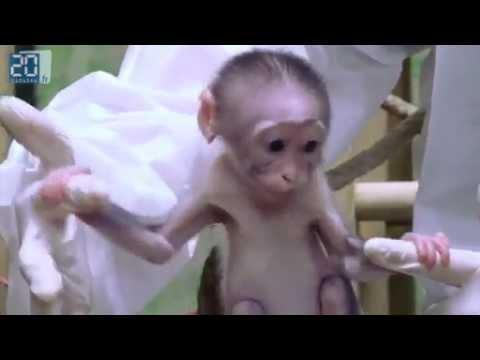 Loango le petit singe qui fait craquer tout le monde
