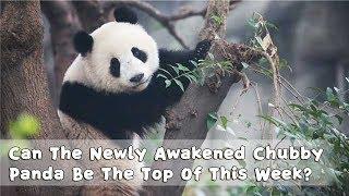 【Panda Countdown】Can The Newly Awakened Chubby Panda Be The Top Of This Week? | iPanda